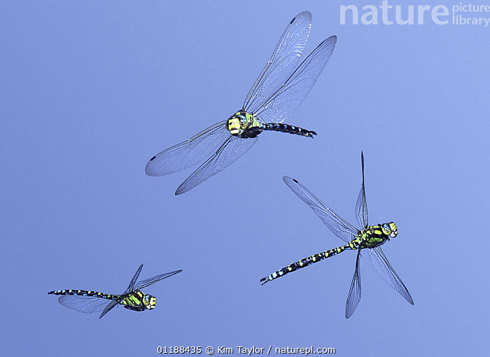 Southern Hawker Dragonfly (Aeshna cyanea) male in flight, 3 images showing level flight, banking and turning, Surrey, UK. Digital composite  ,  ARTHROPODS,DRAGONFLIES,EUROPE,FLYING,INSECTS,INVERTEBRATES,MALES,ODONATA,UK,United Kingdom,British  ,  Kim Taylor