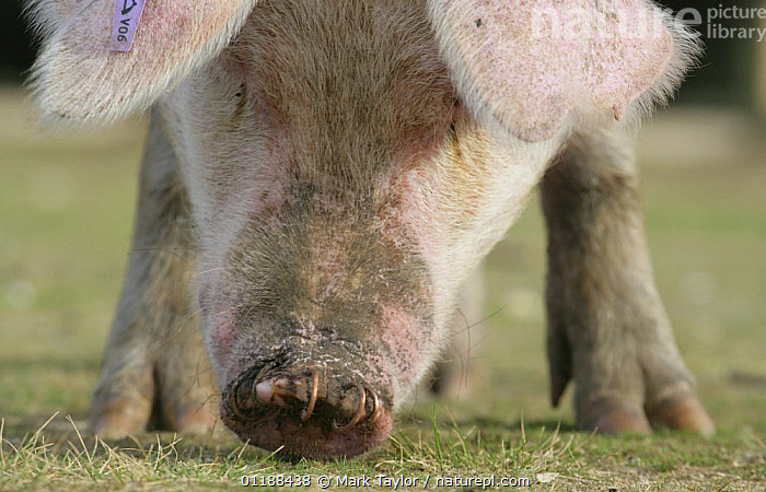 Domestic Pig {Sus scrofa domestica} grazing, with rings in its nose. New Forest, Hampshire, UK  ,  ARTIODACTYLA,CLOSE UPS,EUROPE,FEEDING,LIVESTOCK,MAMMALS,NOSES,PIGS,RESERVE,SUIDS,UK,VERTEBRATES,United Kingdom,British  ,  Mark Taylor