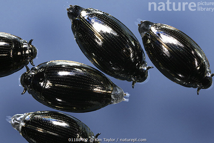 Whirligig Beetles (Gyrinus sp) on the surface of a pond. Surrey, UK  ,  BEETLE,BEETLES,COLEOPTERA,EUROPE,FRESHWATER,GROUPS,INSECTS,INVERTEBRATES,PONDS,TEMPERATE,UK,WATER BEETLES,United Kingdom,British  ,  Kim Taylor