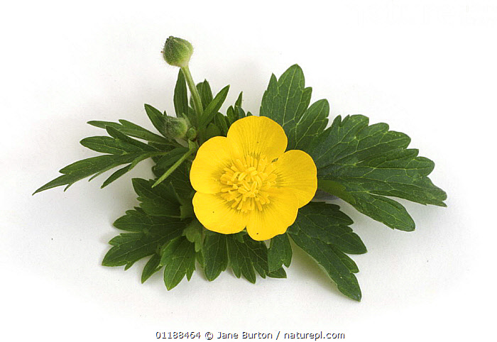Creeping Buttercup (Ranunculus repens) plant with flower, UK  ,  CUTOUT,DICOTYLEDONS,EUROPE,FLOWERS,PLANTS,RANUNCULACEAE,UK,YELLOW,United Kingdom,British  ,  Jane Burton
