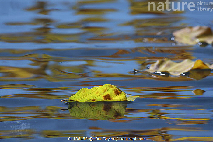 Pond surface with autumn reflections, ripples and floating leaves. Surrey, UK  ,  ARTY SHOTS,AUTUMN,FRESHWATER,LEAVES,PONDS  ,  Kim Taylor
