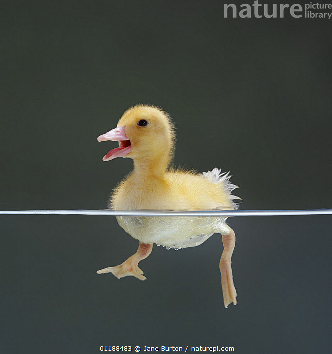 Duckling swimming on water surface, split level, captive, UK  ,  BABIES,BIRDS,CUTOUT,DUCK,DUCKS,EUROPE,PORTRAITS,SPLIT LEVEL,UK,VERTEBRATES,VERTICAL,VOCALISATION,WATERFOWL,United Kingdom,British,Wildfowl, waterfowl  ,  Jane Burton