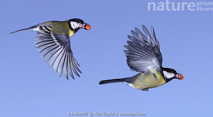 Great Tits (Parus major) in flight with peanut in beak, digital composite, Surrey, UK  ,  BEHAVIOUR,BIRDS,CUTOUT,EUROPE,FEEDING,FLYING,MOVEMENT,TITS,TWO,UK,VERTEBRATES,WINGS,United Kingdom,British  ,  Kim Taylor