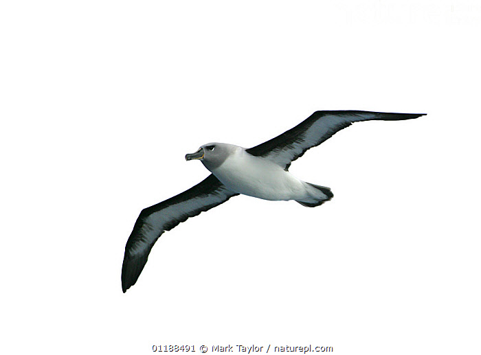Grey-headed Albatross (Thalassarche chrysostoma) immature bird in flight, Southern Oceans.  ,  ALBATROSSES,ANTARCTICA,BIRDS,CUTOUT,Diomedea chrysostoma,FLYING,JUVENILE,PORTRAITS,SEABIRDS,VERTEBRATES  ,  Mark Taylor