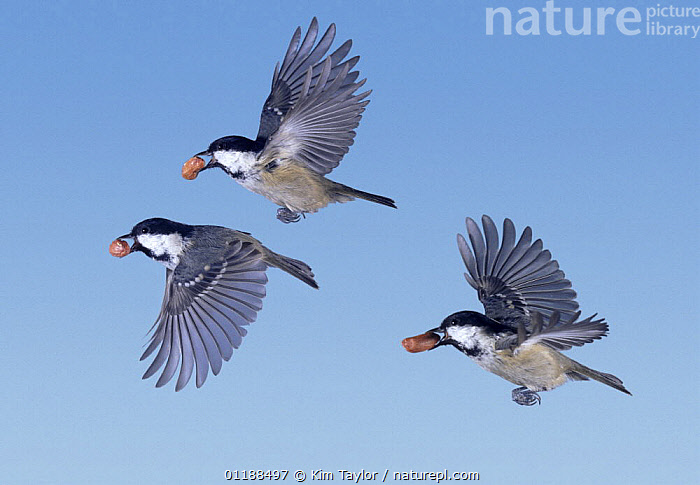 Coal Tits (Periparus ater) flying with peanuts in their beaks, digital composite, Surrey, UK  ,  BEHAVIOUR, BIRDS, EUROPE, FEEDING, FLYING, GROUPS, Nuts, SEQUENCE, THREE, TITS, UK, VERTEBRATES, WINGS,United Kingdom  ,  Kim Taylor