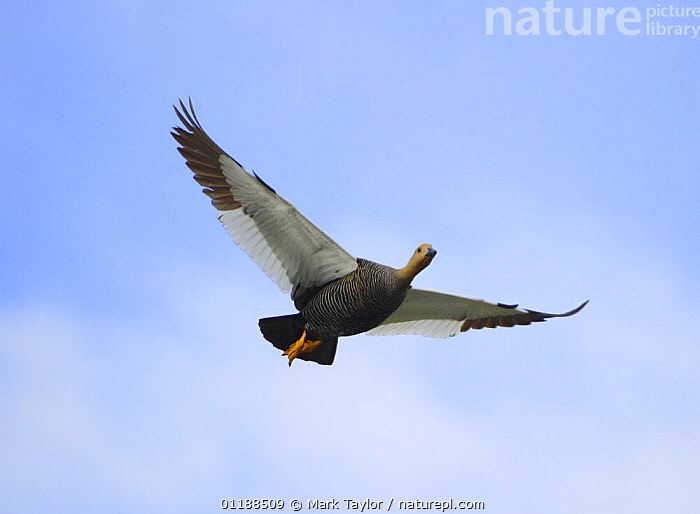 Upland / Magellan Goose (Chloephaga picta) female in flight. Chile and Argentina.  ,  BIRDS,CUTOUT,DUCKS,FEMALES,FLYING,GEESE,PORTRAITS,SOUTH AMERICA,VERTEBRATES,WATERFOWL,Wildfowl, waterfowl  ,  Mark Taylor