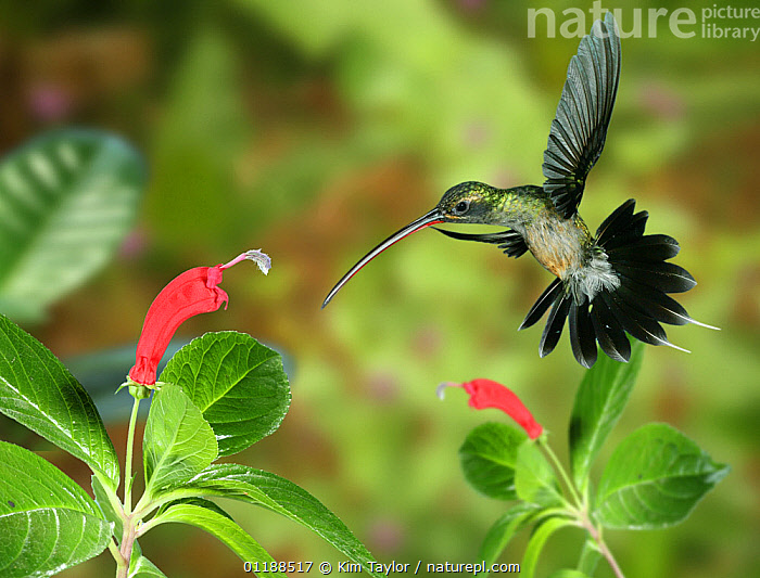 RF- Green Hermit (Phaethornis guy) approaching flower with curved corolla matching the bird's bill. Digital composite, Trinidad. (This image may be licensed either as rights managed or royalty free.)  ,  beaks,BIRDS,CARIBBEAN,FEEDING,FLOWERS,FLYING,Hummingbird,HUMMINGBIRDS,POLLINATION,VERTEBRATES,PHAETHORNIS GUY,Animal,Vertebrate,Bird,Birds,Hummingbird,Green hermit,Animalia,Animal,Wildlife,Vertebrate,Aves,Bird,Birds,Apodiformes,Trochilidae,Hummingbird,Phaethornis,Phaethornis guy,Green hermit,Guy's hermit,White tailed hermit,Pollination,Mid Air,Nobody,The Caribbean,Trinidad And Tobago,Trinidad,Composite Image,Composite Images,Digital Composite,Close Up,Side View,Plant,Flower,Beak,Feather,Outdoors,Nature,Wild,Biodiversity hotspots,Tail Feather,Flowerhead,RF,Royalty free,RFCAT1,RF17Q1,  ,  Kim Taylor
