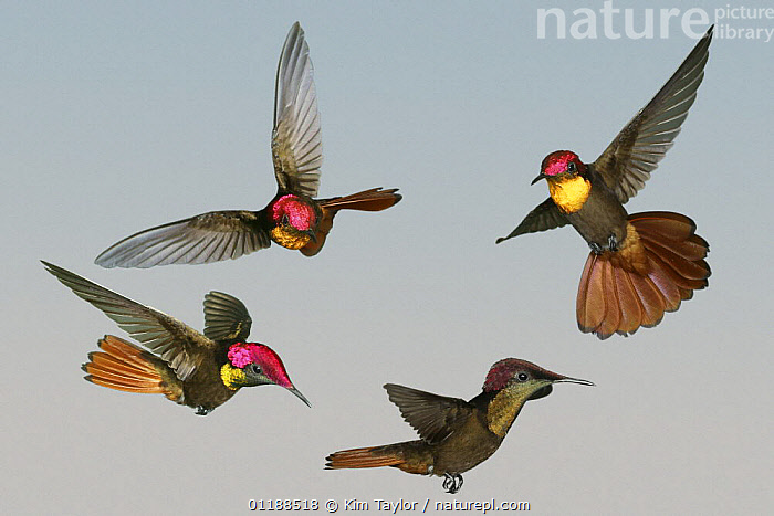 Ruby-topaz Hummingbird (Chrysolampis mosquitus) male flying demonstrating how brilliant colours only show when the bird is viewed from the front, Digital composite, Trinidad.  ,  BIRDS,CARIBBEAN,COLOUR,COLOURFUL,FLYING,FOUR,HUMMINGBIRDS,VERTEBRATES,West Indies,Catalogue1  ,  Kim Taylor