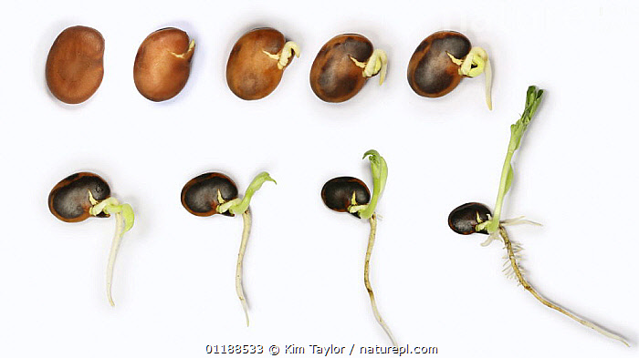 Broad Bean (Vicia faba) germination and growth from seed, sequence, UK composite  ,  DICOTYLEDONS,EDIBLE,FABACEAE,GROWTH,LEGUME,PLANTS,SEEDLING,SEEDS,TIME LAPSE,VEGETABLES,Concepts  ,  Kim Taylor
