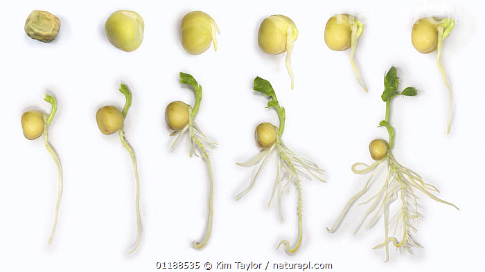 Garden Pea (Pisum sativum) germination and growth from seed, composite sequence, UK  ,  DICOTYLEDONS,EDIBLE,EUROPE,FABACEAE,GROWTH,LEGUME,PLANTS,ROOTS,SEEDLINGS,SEEDS,TIME LAPSE,VEGETABLES,Concepts  ,  Kim Taylor
