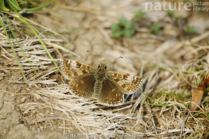 Dingy Skipper butterfly (Erynnis tages) on ground, Surrey, UK  ,  CAMOUFLAGE,EUROPE,INSECTS,INVERTEBRATES,LEPIDOPTERA,SKIPPER BUTTERFLIES,SKIPPERS,UK,United Kingdom,British,Butterflies,CREWS  ,  Kim Taylor