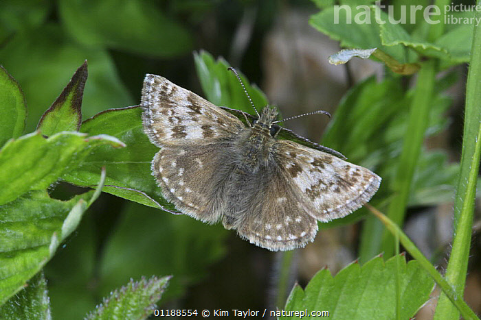 Dingy Skipper butterfly (Erynnis tages) basking. UK  ,  EUROPE,INSECTS,INVERTEBRATES,LEPIDOPTERA,PORTRAITS,SKIPPER BUTTERFLIES,SKIPPERS,UK,United Kingdom,British,Butterflies,CREWS  ,  Kim Taylor