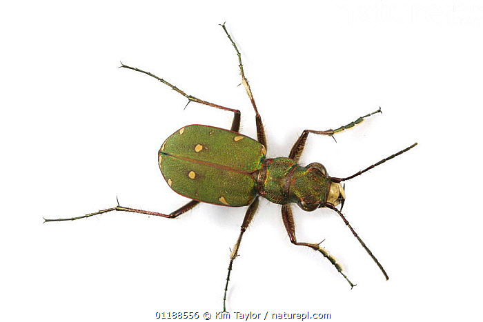 Green Tiger Beetle (Cicindela campestris) captive, UK  ,  BEETLES,COLEOPTERA,CUTOUT,EUROPE,INSECTS,INVERTEBRATES,PORTRAITS,TIGER BEETLES,UK,United Kingdom,British  ,  Kim Taylor
