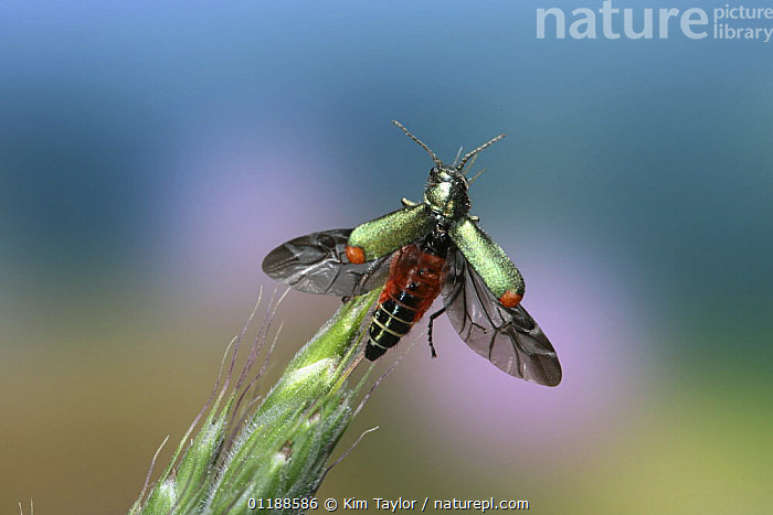 Red-tipped Flower Beetle (Malachius bipustulatus) taking off from a Brome grass head. Surrey, UK  ,  BEETLES, BEHAVIOUR, CHECKERED-BEETLES, COLEOPTERA, EUROPE, FLYING, INSECTS, INVERTEBRATES, take off, UK, WINGS,United Kingdom  ,  Kim Taylor