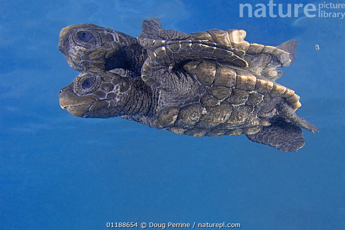 Hawksbill turtle {Eretmochelys imbricata} hatchling on undersurface of water with reflection, captive, Caribbean  ,  BABIES,BABY,CHELONIA,ENDANGERED,MARINE,REPTILES,SEA TURTLES,TURTLES, Turtles,West Indies  ,  Doug Perrine