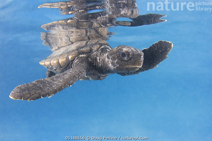 Hawksbill turtle {Eretmochelys imbricata} hatchling on undersurface of water with reflection, captive, Caribbean  ,  BABIES,BABY,CARIBBEAN,CHELONIA,ENDANGERED,MARINE,PORTRAITS,REPTILES,SEA TURTLES,TURTLES,West Indies, Turtles  ,  Doug Perrine