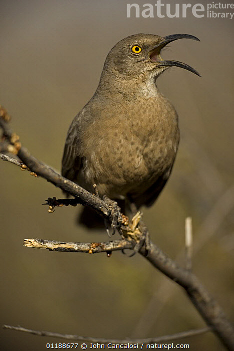 Curve-billed Thrasher (Toxostoma curvirostre) calling, Arizona, USA  ,  BEHAVIOUR,BIRDS,DESERTS,PORTRAITS,THRASHERS,USA,VERTEBRATES,VERTICAL,VOCALISATION,North America  ,  John Cancalosi