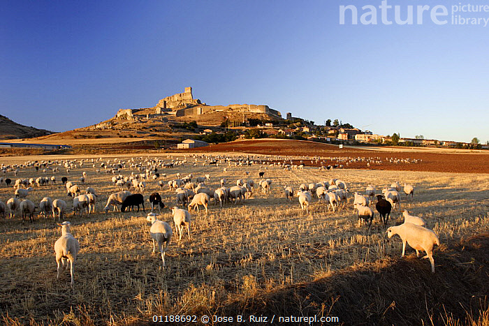 Sheep in the fields surrounding the hill-top town of Atienza, Guadalajara, Spain  ,  AGRICULTURE,EUROPE,FARMLAND,FLOCKS,GROUPS,LANDSCAPES,LIVESTOCK,SHEEP,SPAIN,SUNSET,TOWNS  ,  Jose B. Ruiz