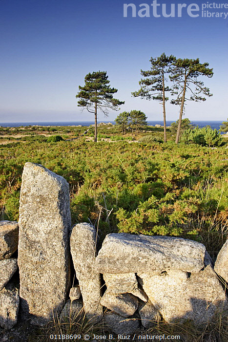 Gorse vegetation and dry stone walls on the Costa da Morte, Galicia, Spain  ,  abandoned farmland,COASTS,EUROPE,HEATHLAND,LANDSCAPES,ROCKS,SPAIN,VERTICAL  ,  Jose B. Ruiz