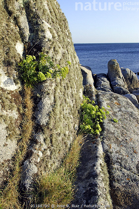 Rock Samphire / Sea fennel (Crithmum maritimum) growing in cracks in granite rocks, La Coruna, Galicia, Spain  ,  APIACEAE,COASTS,DICOTYLEDONS,EUROPE,OCEAN,PLANTS,ROCKS,SPAIN,UMBELLIFERAE,VERTICAL  ,  Jose B. Ruiz