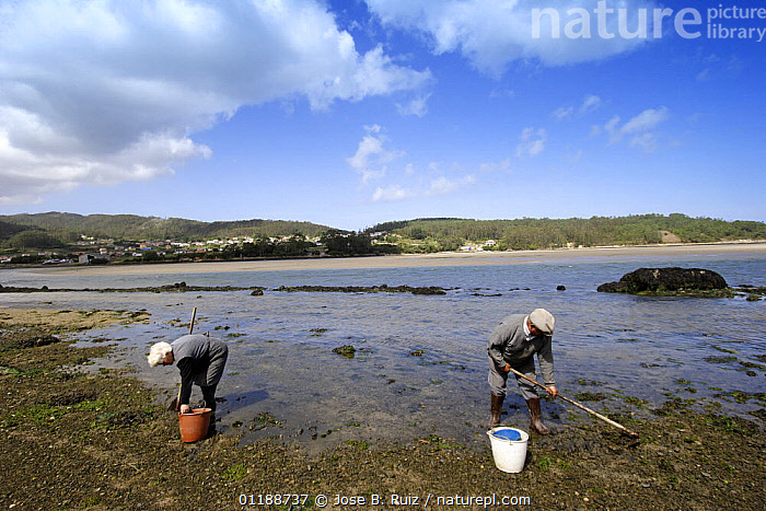 Two men digging for shellfish mudflats in Ria de Corme y Laxe Estuary, Costa da Morte, Galicia, Spain  ,  COASTS,estuaries,EUROPE,FISHERIES,INDUSTRY,LANDSCAPES,PEOPLE,RIVERS,SPAIN,TRADITIONAL,WORKING,FOOD  ,  Jose B. Ruiz