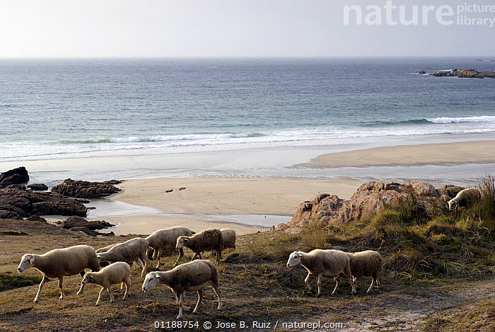 Sheep grazing the Costa da Morte, Galicia, Spain  ,  AGRICULTURE,BEACHES,COASTS,EUROPE,GROUPS,LANDSCAPES,LIVESTOCK,OCEAN,SHEEP,SPAIN,walking  ,  Jose B. Ruiz