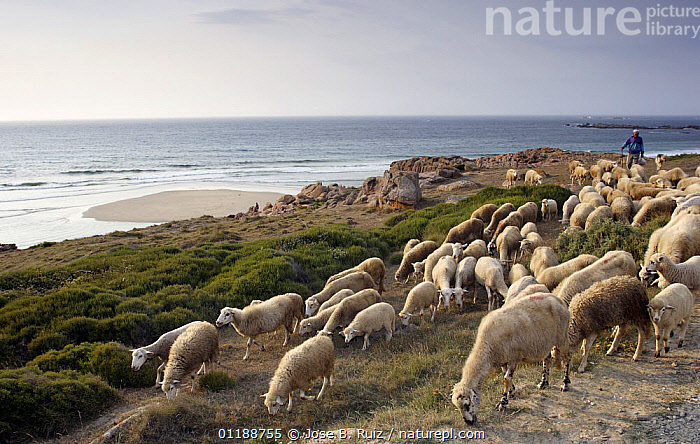 Shepherd moving his sheep, which are grazing the Costa da Morte, Galicia, Spain  ,  AGRICULTURE,BEACHES,COASTS,EUROPE,GROUPS,LANDSCAPES,LIVESTOCK,OCEAN,PEOPLE,SHEEP,SPAIN  ,  Jose B. Ruiz