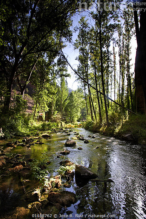 Gallo River flowing through forest, Molina de Aragon, Guadalajara, Spain  ,  EUROPE,FORESTS,LANDSCAPES,RIVERS,SPAIN,TREES,VERTICAL,Plants  ,  Jose B. Ruiz