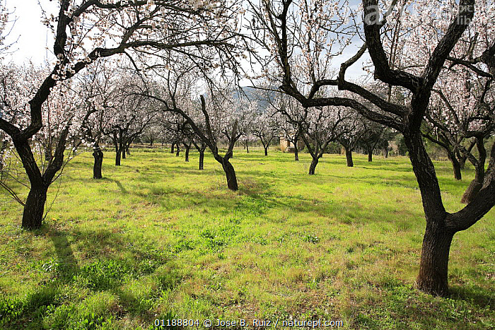 Orchard of Almond trees (Prunus dulcis / Amygdalus communis) in blossom, Spain  ,  BLOOMING,BLOSSOMING,DICOTYLEDONS,EUROPE,FLOWERS,GROUPS,HORTICULTURE,ORCHARDS,PLANTATIONS,PLANTS,ROSACEAE,SPAIN,SPRING  ,  Jose B. Ruiz