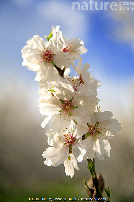Close-up of blossoming Almond tree (Prunus dulcis / Amygdalus communis) in an orchard, Spain  ,  BLOOMING,BLOSSOMING,CLOSE UPS,CUTOUT,DICOTYLEDONS,EUROPE,FLOWERS,HORTICULTURE,ORCHARDS,PLANTATIONS,PLANTS,ROSACEAE,SPAIN,SPRING,VERTICAL  ,  Jose B. Ruiz
