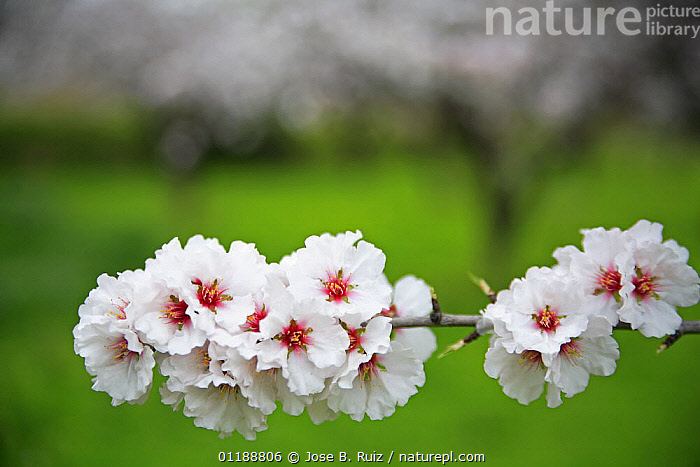 Orchard of Almond trees (Prunus dulcis / Amygdalus communis) in blossom, Spain  ,  BLOOMING,BLOSSOMING,CLOSE UPS,DICOTYLEDONS,EUROPE,FLOWERS,HORTICULTURE,ORCHARDS,PLANTATIONS,PLANTS,ROSACEAE,SPAIN,SPRING  ,  Jose B. Ruiz