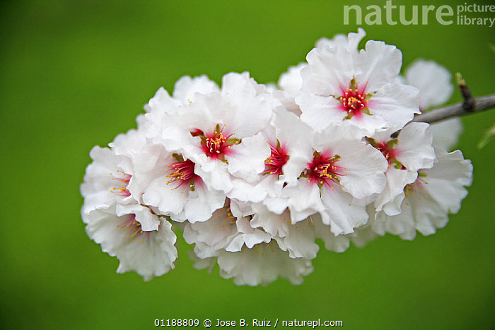 Close-up of blossoming Almond trees (Prunus dulcis / Amygdalus communis) in an orchard, Spain  ,  BLOOMING,BLOSSOMING,DICOTYLEDONS,EUROPE,FLOWERS,HORTICULTURE,ORCHARDS,PLANTATIONS,PLANTS,ROSACEAE,SPAIN,SPRING,VERTICAL  ,  Jose B. Ruiz