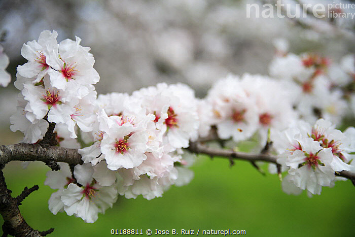 Orchard of Almond trees (Prunus dulcis / Amygdalus communis) in blossom, Spain  ,  BLOOMING,BLOSSOMING,DICOTYLEDONS,EUROPE,FLOWERS,HORTICULTURE,ORCHARDS,PLANTATIONS,PLANTS,ROSACEAE,SPAIN,SPRING  ,  Jose B. Ruiz