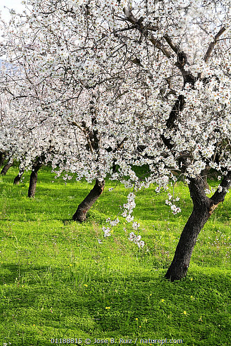 Orchard of Almond trees (Prunus dulcis / Amygdalus communis) in blossom, Spain  ,  BLOOMING,BLOSSOMING,DICOTYLEDONS,EUROPE,FLOWERS,HORTICULTURE,ORCHARDS,PLANTATIONS,PLANTS,ROSACEAE,SPAIN,SPRING,VERTICAL  ,  Jose B. Ruiz