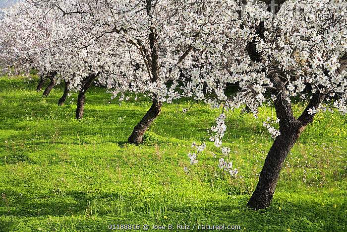 Orchard of Almond trees (Prunus dulcis / Amygdalus communis) in blossom, Spain  ,  BLOOMING,BLOSSOMING,DICOTYLEDONS,EUROPE,HORTICULTURE,ORCHARDS,PLANTATIONS,PLANTS,ROSACEAE,SPAIN,SPRING,TREES  ,  Jose B. Ruiz