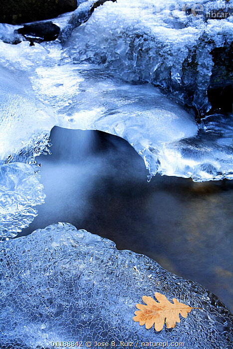 Leaf on ice beside a partially frozen stream in Canencia, Spain  ,  ARTY SHOTS,EUROPE,ICE,LANDSCAPES,LEAVES,RIVERS,SNOW,SPAIN,VERTICAL,WATER,WINTER,WOODLANDS  ,  Jose B. Ruiz