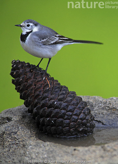 White wagtail {Motacilla alba alba}  perched on a pine cone, Spain  ,  BIRDS,CUTOUT,EUROPE,PORTRAITS,PROFILE,SPAIN,VERTEBRATES,VERTICAL,WAGTAILS  ,  Jose B. Ruiz