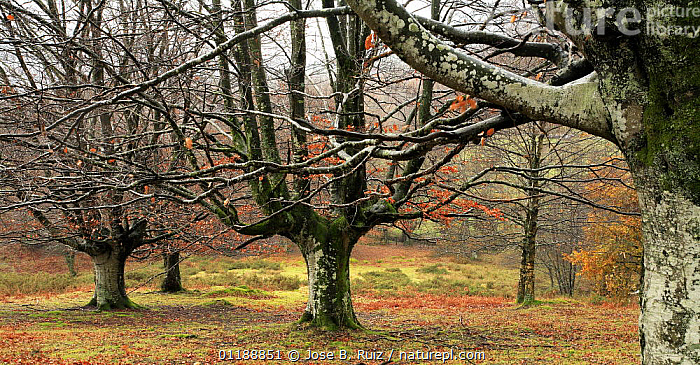 Late autumn in a woodland of pollarded Beech trees in Durango, Basque Country, Spain  ,  AUTUMN,BROADLEAF,EUROPE,LANDSCAPES,LEAVES,POLLARDED,POLLARDING,SPAIN,TREES,WINTER,WOODLANDS,Plants  ,  Jose B. Ruiz