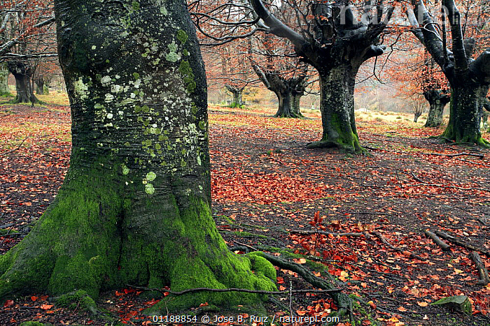 Late autumn in a woodland of pollarded Beech trees in Durango, Basque Country, Spain  ,  AUTUMN,BROADLEAF,EUROPE,FORESTS,LEAVES,LICHEN,MOSS,MOSSES,SPAIN,TREES,WINTER,WOODLANDS,Plants  ,  Jose B. Ruiz