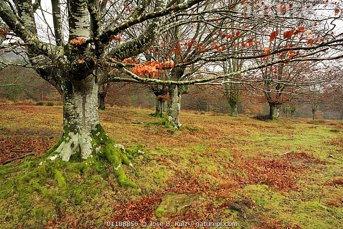 Late autumn in a woodland in Durango, Basque Country, Spain  ,  AUTUMN,BROADLEAF,EUROPE,FORESTS,LEAVES,MOSS,MOSSES,SPAIN,TREES,WINTER,WOODLANDS,Plants  ,  Jose B. Ruiz