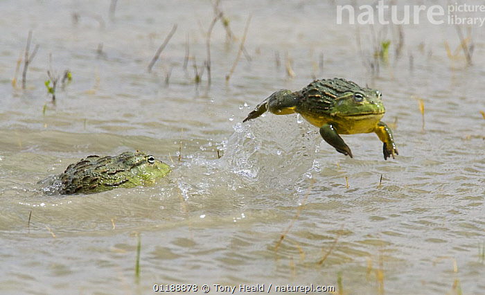 African bullfrog {Pyxicephalus adspersus} vanquished male leaps away from fight, Etosha NP, Namibia, January  ,  ACTION,AMPHIBIANS,ANURA,BEHAVIOUR,FIGHTING,FROGS,JUMPING,MALES,RESERVE,SOUTHERN AFRICA,SURFACE,TWO,VERTEBRATES,WATER,Aggression,Concepts  ,  Tony Heald