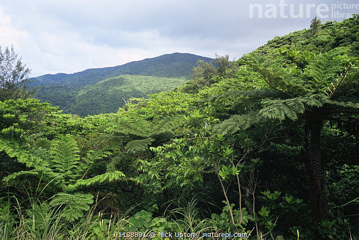 View of montane rainforest with tree ferns (Cyatheales) Orchid Island, Taiwan  ,  ASIA,LANDSCAPES,TAIWAN,TROPICAL RAINFOREST  ,  Nick Upton
