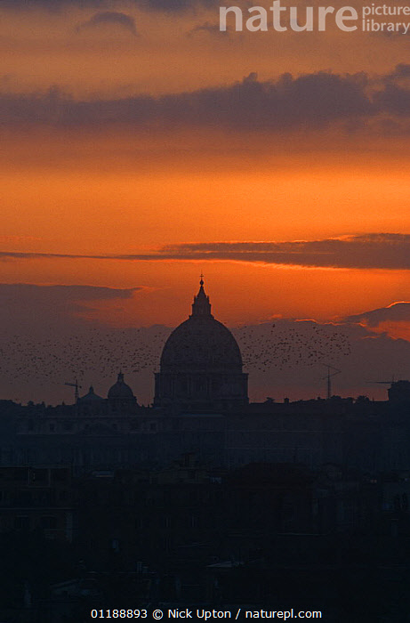Flock of Common Starling (Sturnus vulgaris) fly past St Peter's Basilica at sunset as they head for a city centre roost, Rome, Italy, 1997  ,  BEHAVIOUR,BIRDS,CITIES,EUROPE,FLOCKS,GROUPS,ITALY,STARLINGS,SUNSET,VERTEBRATES,VERTICAL  ,  Nick Upton