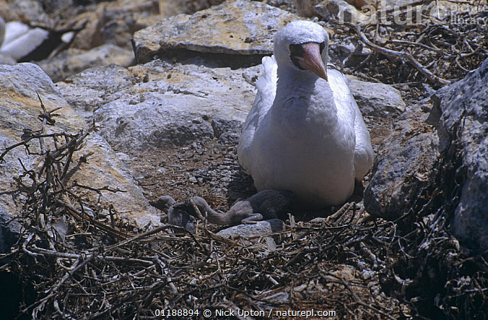 Nazca booby (Sula dactylatra granti) dominant chick evicting younger sibling from the nest while adult watches, Espanola Is, Galapagos  ,  FAMILIES,BEHAVIOUR,BIRDS,BOOBIES,DOMINANCE,GALAPAGOS,INFANTICIDE,NESTS,SEABIRDS,VERTEBRATES  ,  Nick Upton