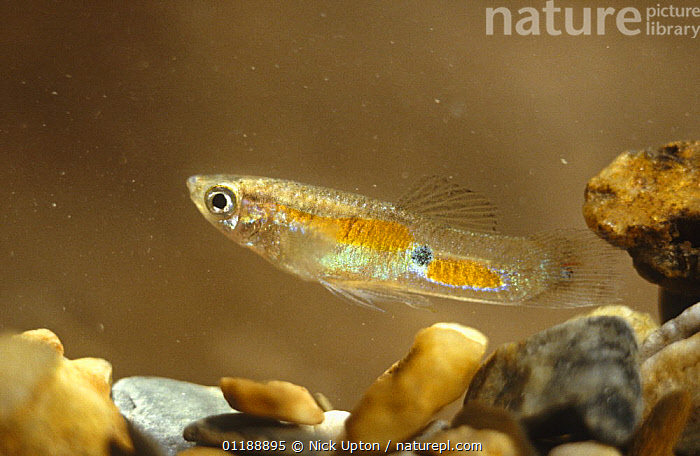 Guppy / Millions fish (Poecilia reticulata) male in mountain stream, Trinidad  ,  CARIBBEAN,FISH,FRESHWATER,GUPPIES,LEBISTES,OSTEICHTHYES,PORTRAITS,TROPICAL,UNDERWATER,VERTEBRATES,West Indies  ,  Nick Upton