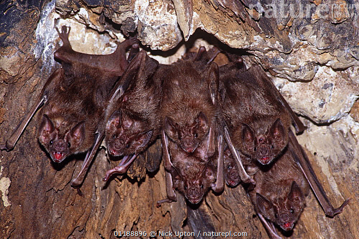 Common vampire bats (Desmodus rotundus) roosting in a hollow tree, Trinidad.  ,  BAT,BATS,CARIBBEAN,CHIROPTERA,GROUPS,MAMMALS,VERTEBRATES,West Indies  ,  Nick Upton