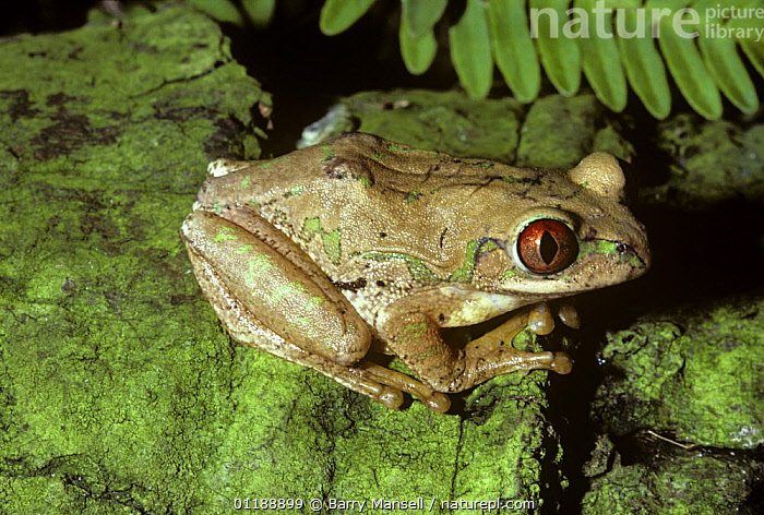 Forest treefrog {Leptopelis natalensis} captive, from Africa  ,  AFRICA,AMPHIBIANS,ANURA,FROGS,PORTRAITS,REED FROGS,TREEFROGS,VERTEBRATES  ,  Barry Mansell