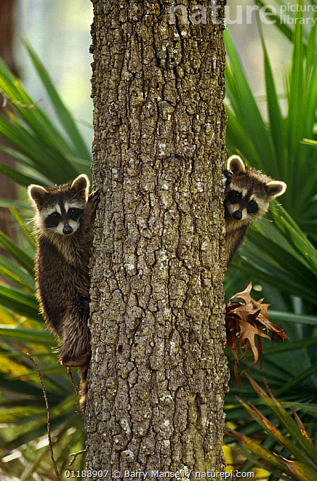 Two Raccoons {Procyon lotor} peering out from behind tree trunk, Florida, USA  ,  CARNIVORES,HUMOROUS,MAMMALS,RACCOONS,TREES,TRUNKS,USA,VERTEBRATES,VERTICAL,North America,Concepts,Plants  ,  Barry Mansell