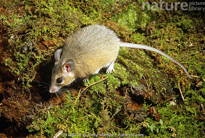 Spiny egyptian  mouse {Acomys dimiditus} captive, from Egypt  ,  EGYPT,MAMMALS,MICE,NORTH AFRICA,RODENTS,VERTEBRATES,Africa,Muridae  ,  Barry Mansell
