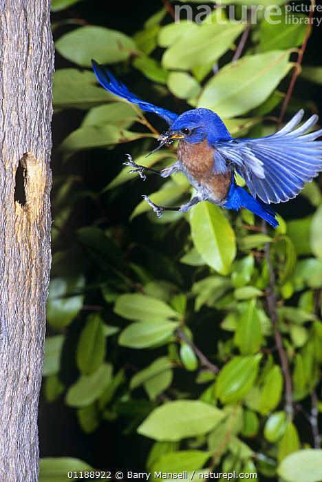 Eastern bluebird {Sialia sialis} male flying to nest hole with prey, Florida, USA  ,  BEHAVIOUR,BIRDS,FLYCATCHERS,FLYING,MALES,NESTS,TRUNKS,USA,VERTEBRATES,VERTICAL,North America  ,  Barry Mansell